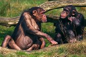 face to face conversation between two chimpanzees poster