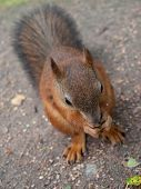 red squirrel sitting on ground and eating nut poster
