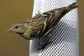 Pine Siskin (Carduelis pinus) eating black thistle on a feeder poster