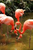 red flamingo in a park in Florida USA poster