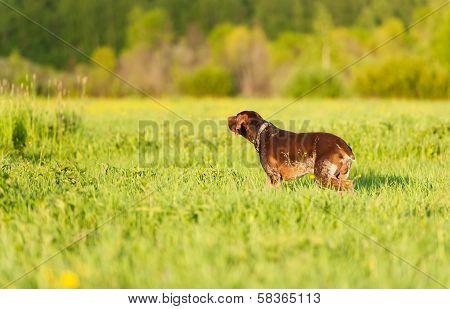 Kurzhaar On Green Grass