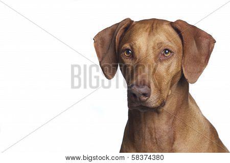 Ridgeback Dog In Studio