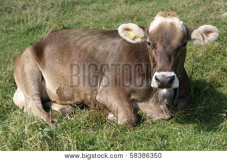 Milck cow
