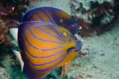 Two Blue Ringed Angelfish in the Gulf of Thailand poster