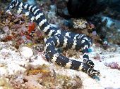 Banded sea krait in Bohol sea Phlippines Islands poster