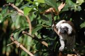 A cotton topped Tamarin sticking his tongue out cheekily. poster