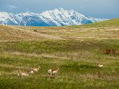 Antelope in a Field in Montana USA with Snowcapped Mountains poster