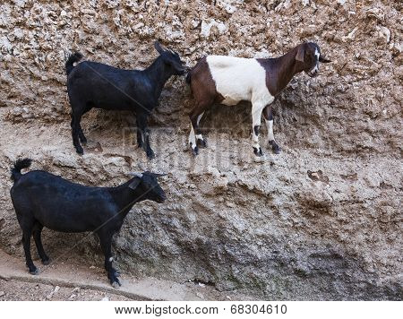 Goats stand on vertical wall of the house in ancient city of Jugol. Harar. Ethiopia. poster