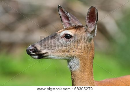 White-tailed Deer (Odocoileus virginianus) doe with a colorful background poster