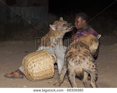 Harar, Ethiopia - December 23, 2013: An Unidentified Man Feeds Spotted Hyenas (crocuta Crocuta) In A