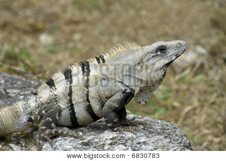 Cozumel Iguana On Rock Perch