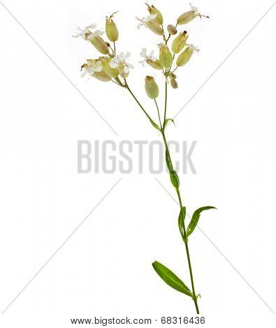 Soapwort (Saponaria officinalis) plant isolated on white