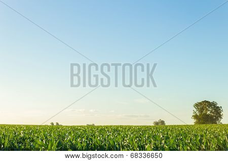 Beautiful Cornfield With Clear Blue Sky