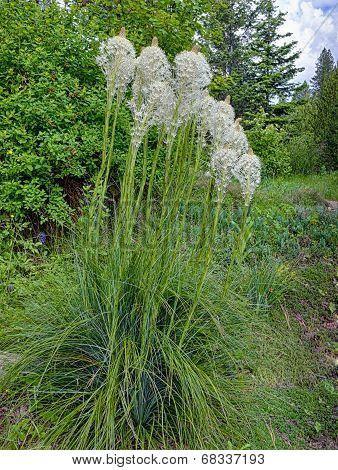 Bear Grass In Garden