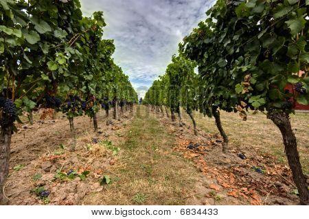 Oregon Vineyard