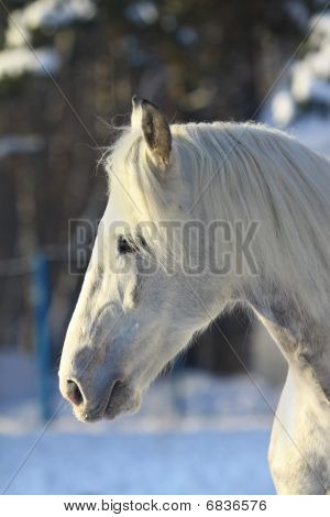 beautiful young dapple gray stallion in a winter poster