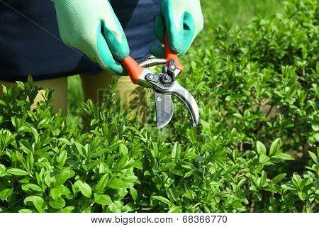 Pruning bushes in garden