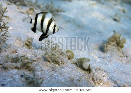 Coral Fish Chrysiptera Annulata