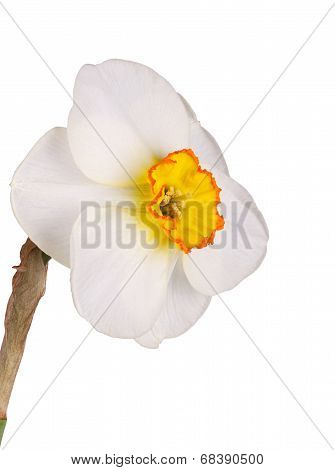 Single Flower Of A Tricolor Daffodil Against A White Background