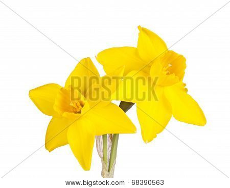 Two Flowers Of A Jonquil Cultivar Isolated On White