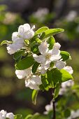 Blooming branch of fruit tree, shallow focus poster