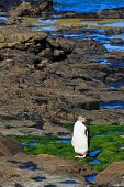 Yellow eyed penguin on a rocky shore in New Zealand South Island. poster
