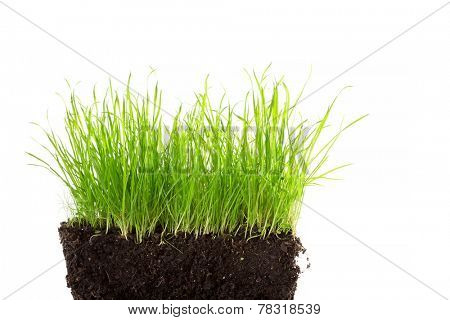 some wild grass in soil isolated on white