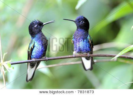Hyazinthkolibri Kolibri