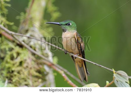 Reh-breasted Brillant Hummingbird