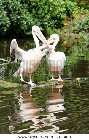 Two pelicans with water reflections