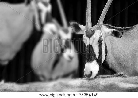 The scimitar oryx
