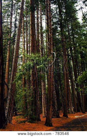 Yosemite redwood trees