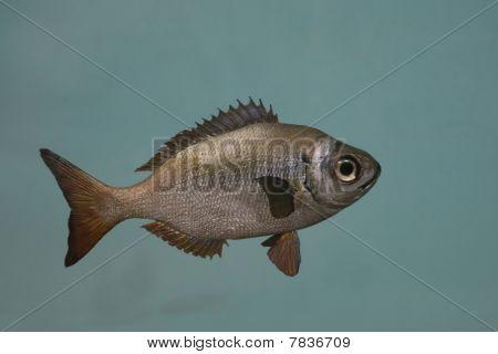 Frans Madame Fish