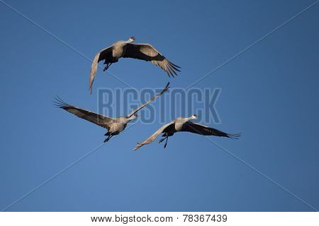Sandhill cranes flying at Bosque del Apache National Wildlife Refuge in San Antonio New Mexico poster