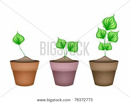 Green Wildbetal Leafbush in Ceramic Flower Pots