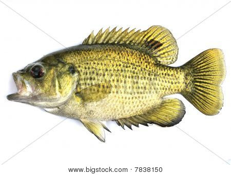 Rock Bass, (ambloplites Rupestris)