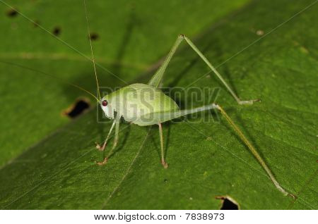 Blatt Grasshopper