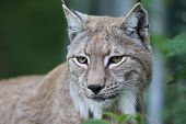 Close up of a European Lynx in the grass poster