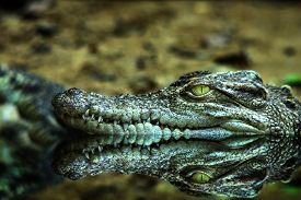 Crocodile Head And The Reflex