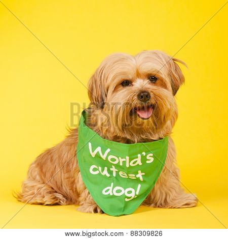 Little mixed breed dog with long hair on yellow background as world's cutest dog