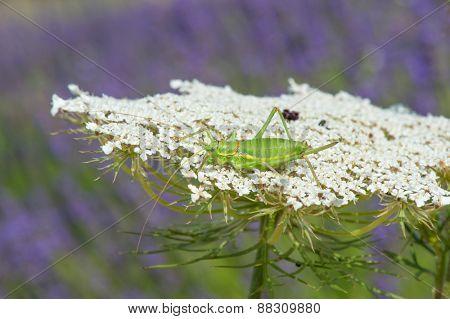 Green grasshopper on white cow parsley