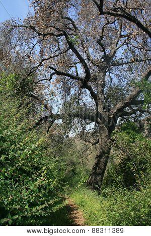 Oak tree on a grassy hill side, California