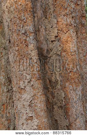 Tree Trunk And Bark Of Chambak