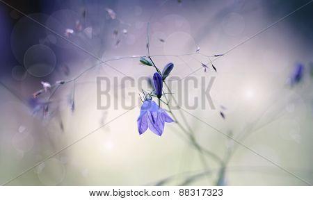Harebells (campanulas) Wild Flowers