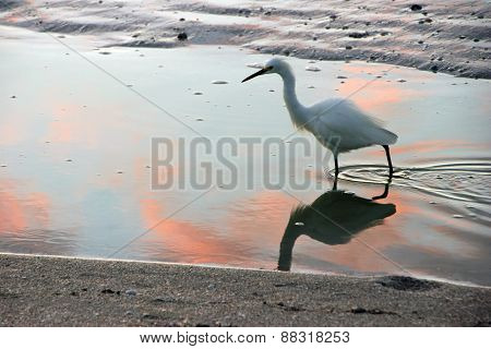 Great Egret on Beach at Sunrise Sanibel Florida