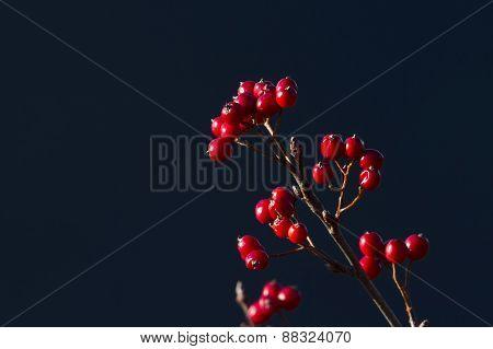 sorbus aria in autumn season, Vosges, France