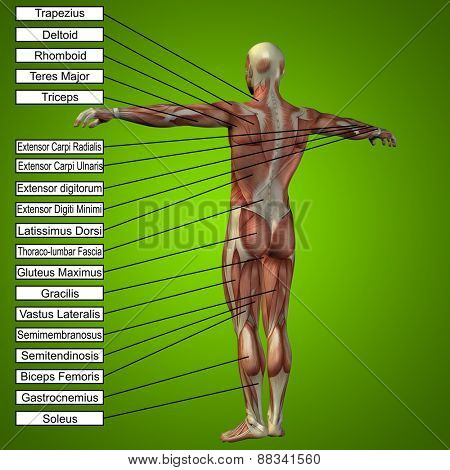 Concept or conceptual 3D male or human anatomy, a man with muscles and text on green gradient background poster