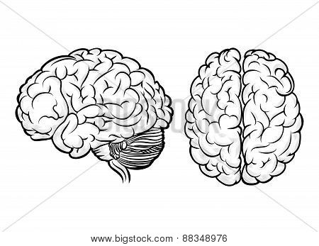 Vector human brain
