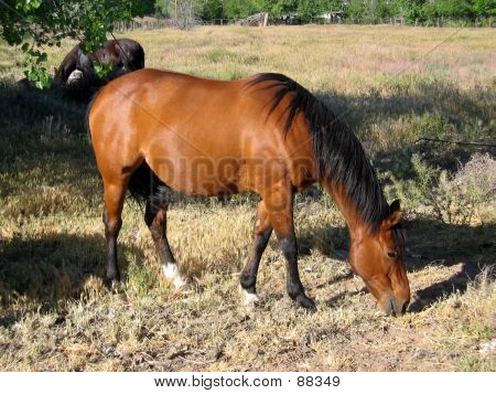 brown horse grazing poster