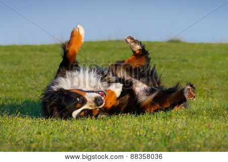 Dog lay